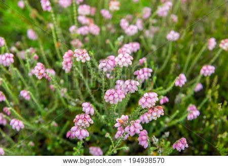 Closeup of a subtle pale pink blossoming cross-leaved heath plant in a Dutch nature reserve in the beginning of the summer season.