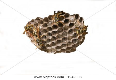 Wasps tending nest closeup isolated on white poster