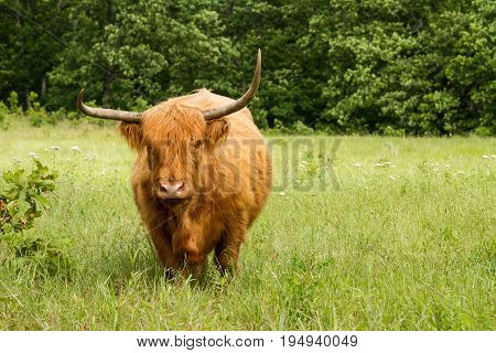 Scottish Highland Cow standing in a meadow.