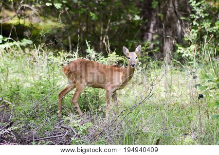 Roe deer in the forest of a tyrolean mountain in austria