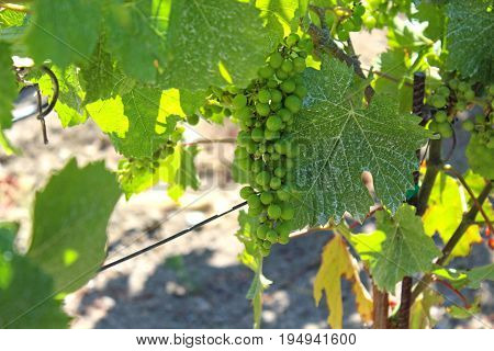 Sunlight filtering through the green leaves of a grapevine with green grapes