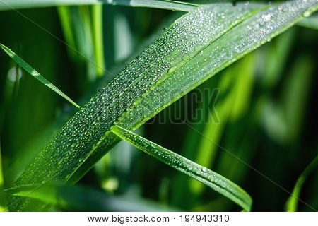 Fresh green grass with dew drops close up. Green grass background. Drop of dew in morning on leaf with sun light. Nature Background.