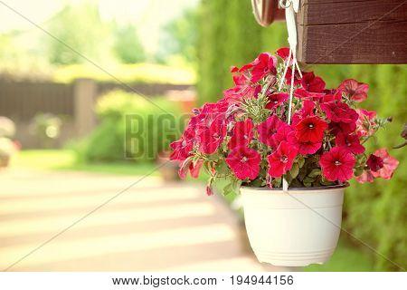 Beautiful petunia flower in pot. Nature outdoor