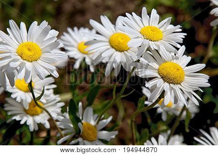 Daisy camomile flower. Beautiful camomile background flower.