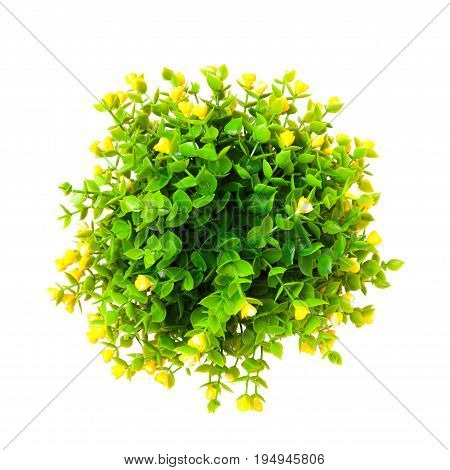 Ornamental Plant With Yellow Buds Shot From Above Isolated On White.