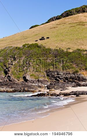 Field On Hill At Coastline With Cows - Blueys Beach, New South Wales, Australia