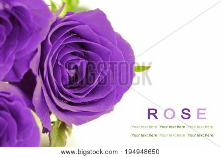 Violet roses on white background. Greeting card.