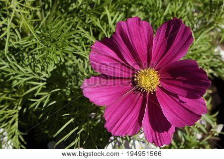 Closeup of a Cosmos flower (Cosmos bipinnatus) with a green background picture from the North of Sweden.