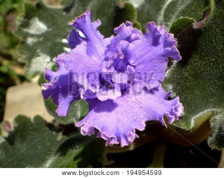 Photo of purple terry shiny iridescent shimmer Saintpaulia flower with yellow stamens and green leafs on blurred background