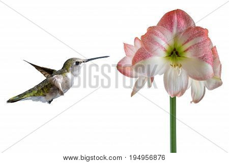 Hummingbird in flight with tropical flower over white background