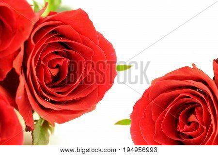 Beautiful red roses flower on white background.