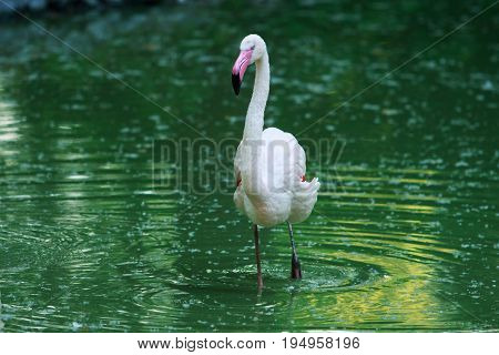 Phoenicopterus ruber roseus stand in the water