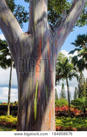 Close up image of a Rainbow Eucalyptus tree trunk (Eucalyptus deglupta)