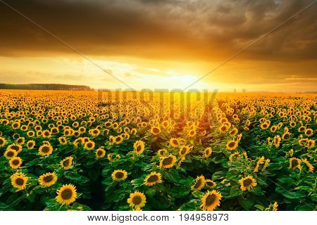 Beautiful sunflower fields during sunset in Hungary