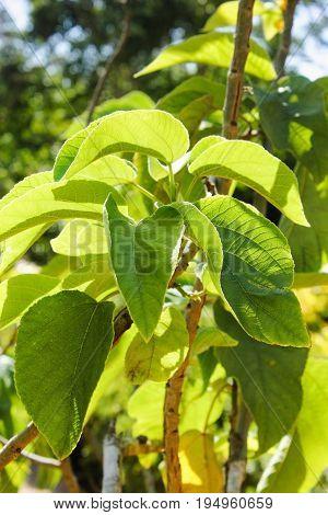Close up image of Paper Mulberry (Broussonetia papyrifera)