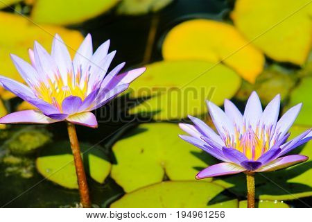 Close up image of two Blue Lotus Water Lillies (Nymphaea nouchali)