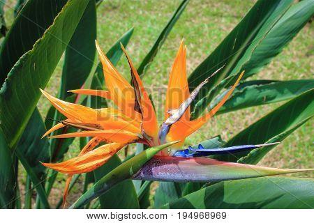 Close up image of a Bird of Paradise (Strelitzia) Flower