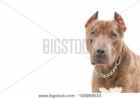 Portrait of a pit bull, closeup, isolated on a white background