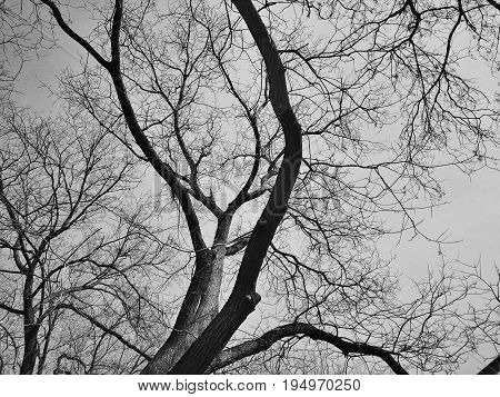High contrast black and white trees without leaves.  Concept of mystery.
