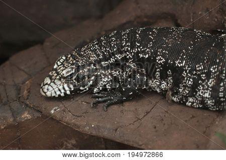 Argentine black and white tegu (Salvator merianae), also known as the Argentine giant tegu.
