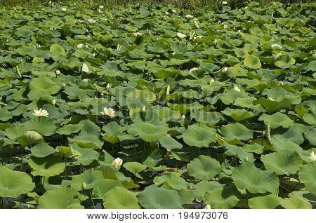 Water Lillies cover a pond at the North Carolina Estuarium in WashingtonNorth Carolina