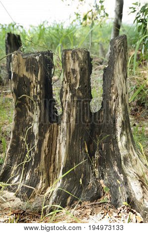 A tree stumps remains as a witness to a wildfire in the Goose Creek State Park