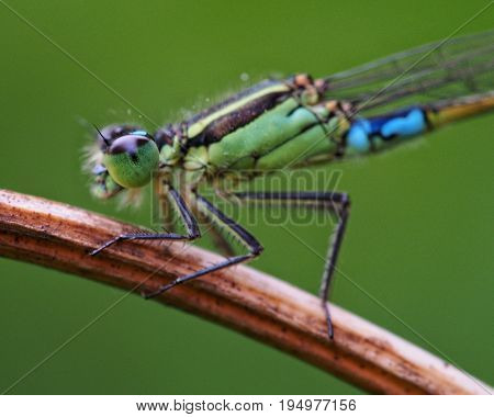 Green and turquoise damselfly in natural habitat