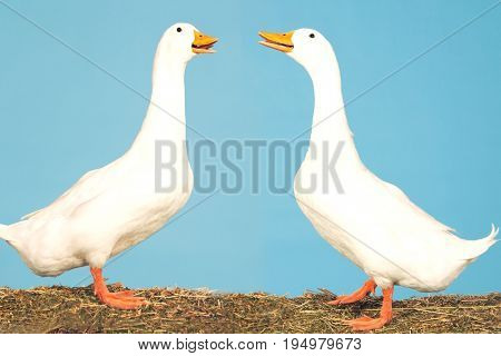 Side view of two geese facing each other standing against blue sky