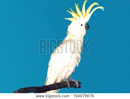 Side view of a cockatoo against blue background