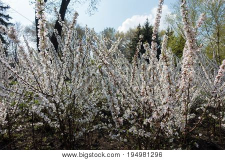 Florescence Of Chinese Dwarf Cherry In Spring