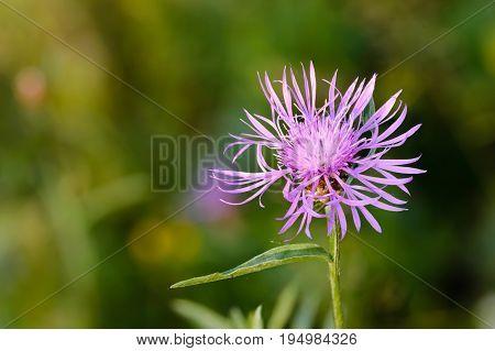 Centaurea Phrygia L. Subspecies Pseudophrygia
