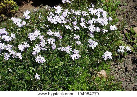 Flowering Creeping Phlox Plant In Mid Spring
