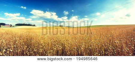 Agricultural landscape with flax seed field. Summer nature background