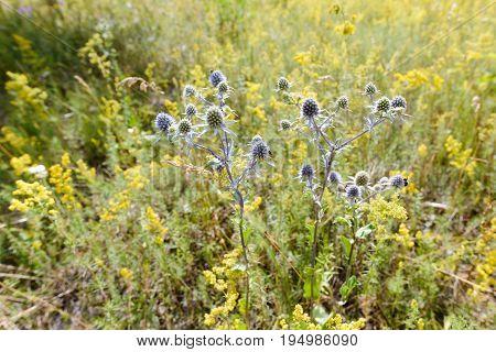 Eryngium Campestre Flowers