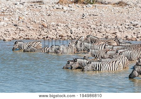 A herd of Burchells zebras Equus quagga burchellii standing in a waterhole to drink
