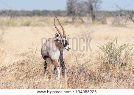 An oryx also called gemsbok Oryx gazella with a deformed horn in Northern Namibia