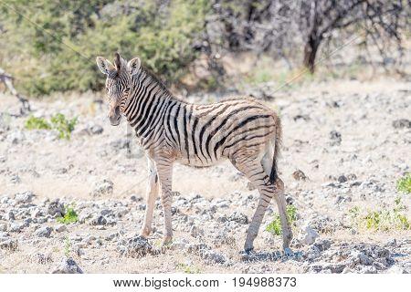 A Burchells zebra foal Equus quagga burchellii between calcrete rocks