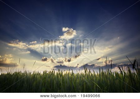 Cornfield at sunset with rays of sunlight shining through.
