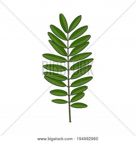 Beautiful hand drawn senna twig, branch, decoration element, sketch vector illustration isolated on white background. Realistic hand drawing of beautiful senna siamea twig, floral decoration element