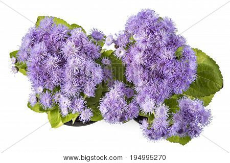 Beatifull fluffy blue Ageratum houstonianum in flower pot on the white background. Conoclinium coelestinum. Garden plants