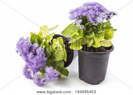 Beatifull fluffy blue Ageratum houstonianum in flower pot on the white background. Conoclinium coelestinum. Garden plants