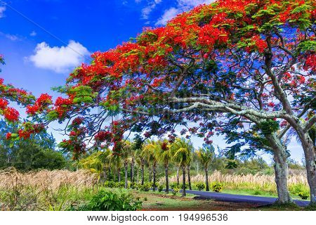 Exotic tropical tree flamboyant with red flowers. Mauritius island