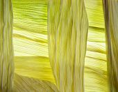 Close-up of yellow maize leaves surrounding the cob poster