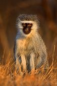 Vervet monkey : Cercopithecus Aethiops : South Africa poster