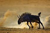 Blue wildebeest : connochaetes taurinus : South Africa : Kalahari dessert poster