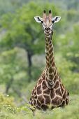 Giraffe : Giraffa Camelopardalis : South Africa poster