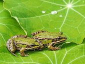 rana esculenta - common european green frogs on a dewy leaf poster
