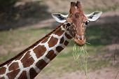 Reticulated giraffe (Giraffa camelopardalis reticulata), also known as the Somali giraffe. poster