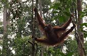 Great Ape hang between branches of tree in the forest. Orangutan or pongo pygmaeus in the wild. Wildlife poster