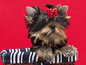 Puppy yorkshire terrier on the red background poster